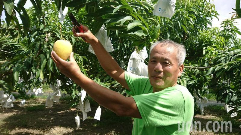 蔡鳴忠草生栽培金蜜芒果,顆顆「在欉黃」,不用催熟劑,天然甜熟。記者簡慧珍/攝影