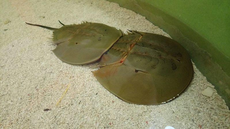 鱟都是雌雄相隨,因此又稱為「夫妻魚」。 記者卜敏正/攝影