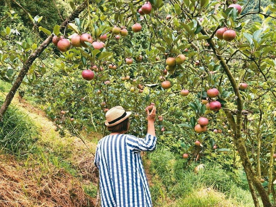 柯亞實際走訪宜蘭的蘋果園。 圖/柯亞提供