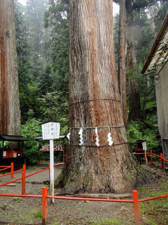 御神木係神社境內最高大的樹木,約七百齡,高六十米,幹圍6.35米