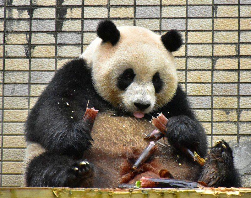 大貓熊「圓仔」吃轎篙筍。圖/台北市立動物園提供