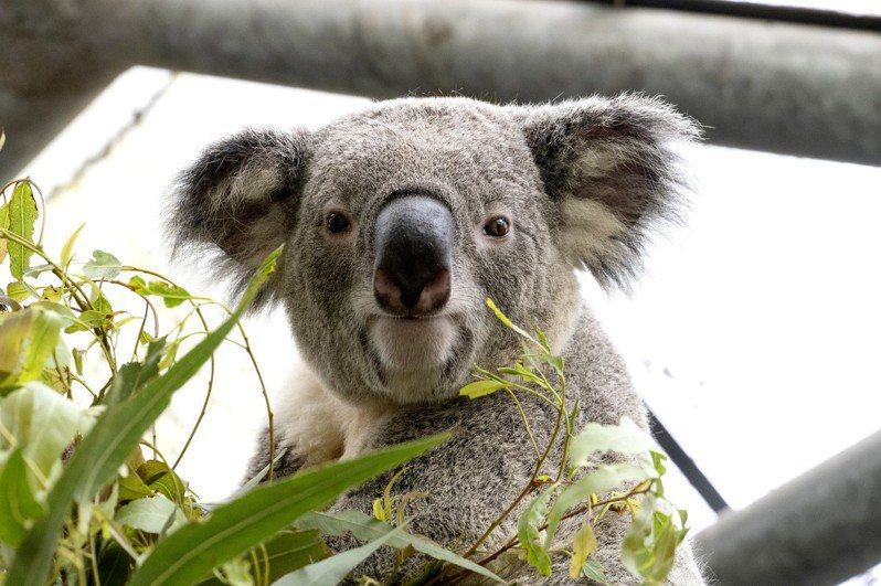 無尾熊們沒有特別固定收聽的廣播頻道,但多半是以音樂為主,圖為「琪琪」。圖/台北市立動物園提供
