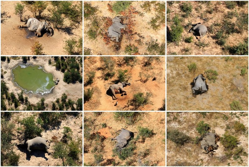 非洲國家波札那是三分之一非洲象的棲息地,近幾個月卻爆出大象集體死亡,數量超過350頭。目前確切死因仍不明。 路透