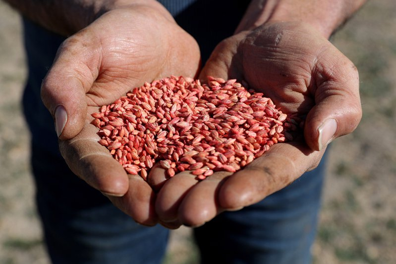 大陸今年五月對澳洲大麥課徵百分之八十的反傾銷和反補貼稅,為期五年。歐新社