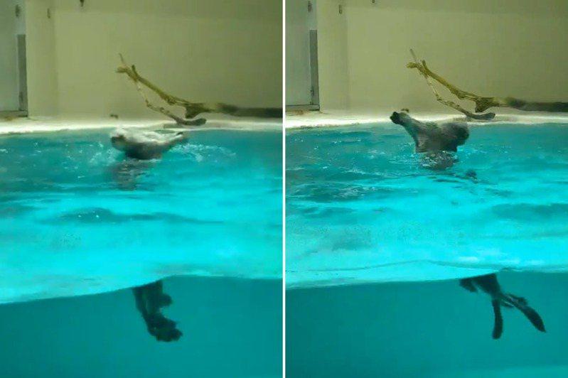 鳥羽水族館的海獺Mei在水中高速旋轉,影片令網友驚歎。 圖/截自twitter@HALTRHYTHM影片