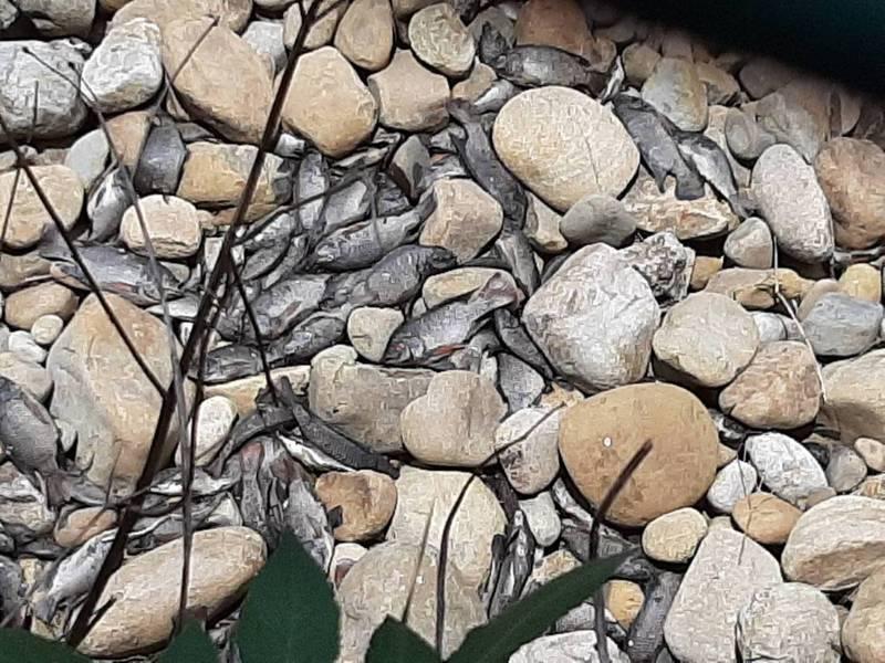 桃園南崁溪今天發現有大量死魚,由於天氣炎熱,臭氣沖天。記者張裕珍/翻攝