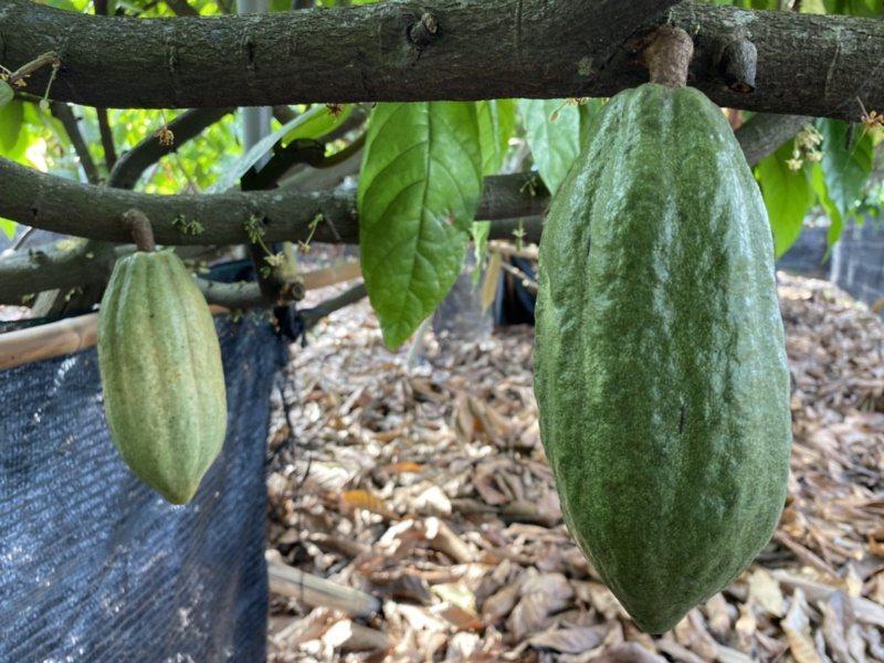 可可亞樹果莢碩大,外型如同木瓜,但隨著成熟或轉為紅色。 圖/江良誠 攝影