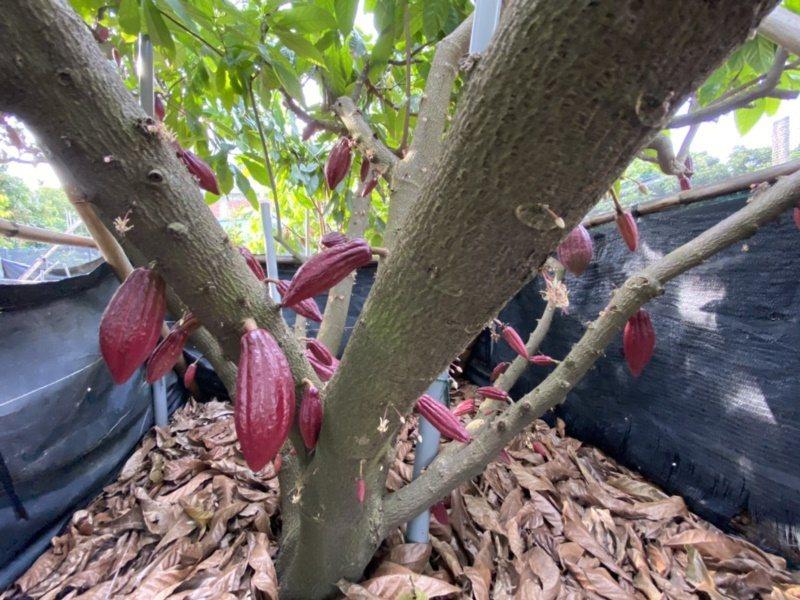 可可亞樹產量高,樹上成熟紅色果莢結實纍纍。 圖/江良誠 攝影