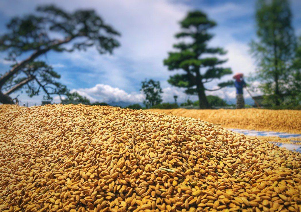 棗稻田精品米在陽光下散發金黃色光澤。 棗稻田食玩農創空間/提供