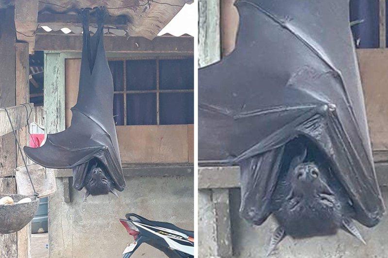 攝影師運用拍攝技巧,將該隻蝙蝠體型放大,但世界上真的有該品種的蝙蝠存在。圖翻攝自Twitter「AlexJoestar622」