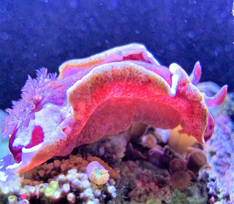 誰能比我萌? 屏東海生館最近引進海蛞蝓中最美艷的血紅六鰓海蛞蝓,在海中舞動如熱情西班牙舞孃拉著豔紅色裙襬。圖/屏東海生館提供