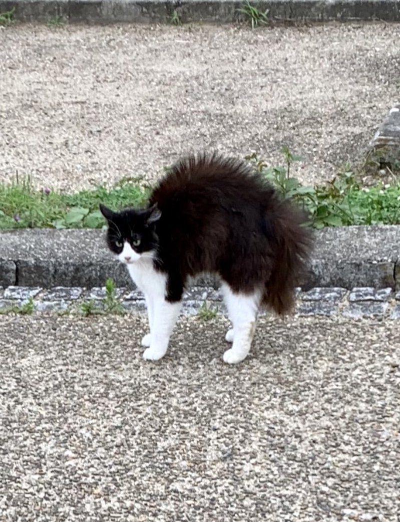 日本一隻「憤怒的貓」照片引起網友熱議,誇張炸毛畫面吸引近36萬人按讚。圖擷自Twitter
