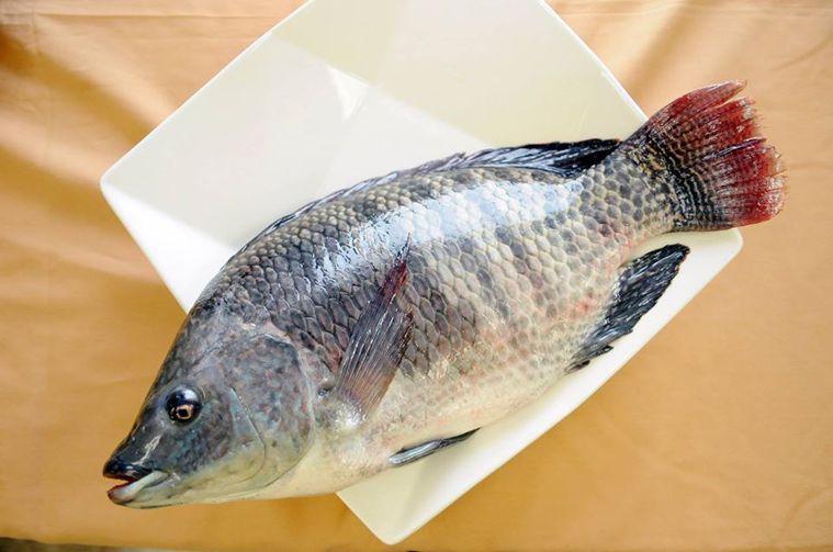 水產試驗所透過多年的選育,選拔出超雄性的台灣鯛YY品系。(圖片來源:行政院農業委...