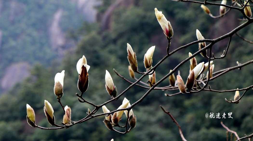 三清山杜鵑花,分佈在山澗峽谷,花開時,姹紫嫣紅,點綴山間,又會是另一種景觀。