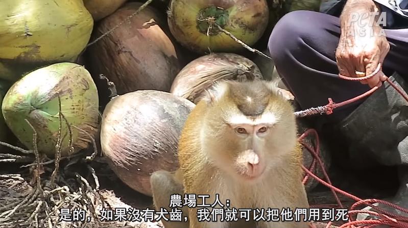 PETA指如果猴子試圖抵抗,犬齒還可能被拔掉。一位受訪椰農就表示「無牙的猴子更好用」,「可以把牠們用到死」。圖/取自PETA亞洲臉書