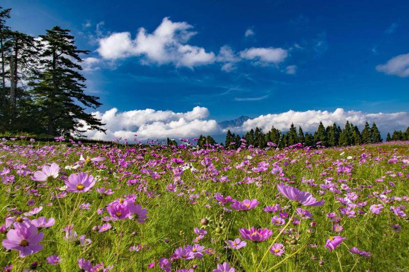 福壽山農場的製茶場波斯菊,波斯菊花海現在透過即時影像即可欣賞美景。圖/福壽山農場提供