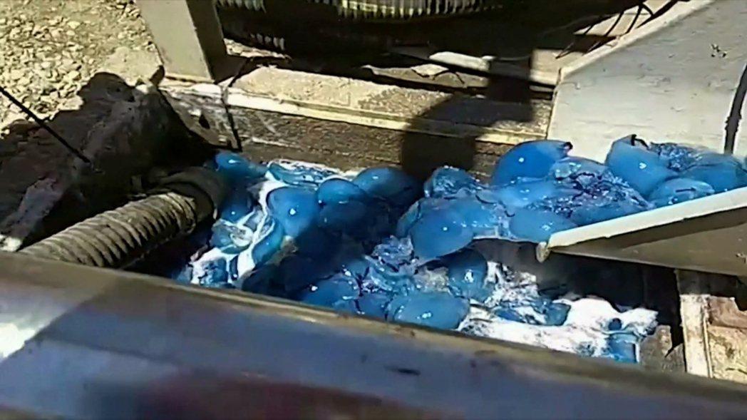 以色列南部的魯騰堡發電廠8日晚間遭遇成群水母隨海浪湧入,所幸都被廠方設置的過濾網...