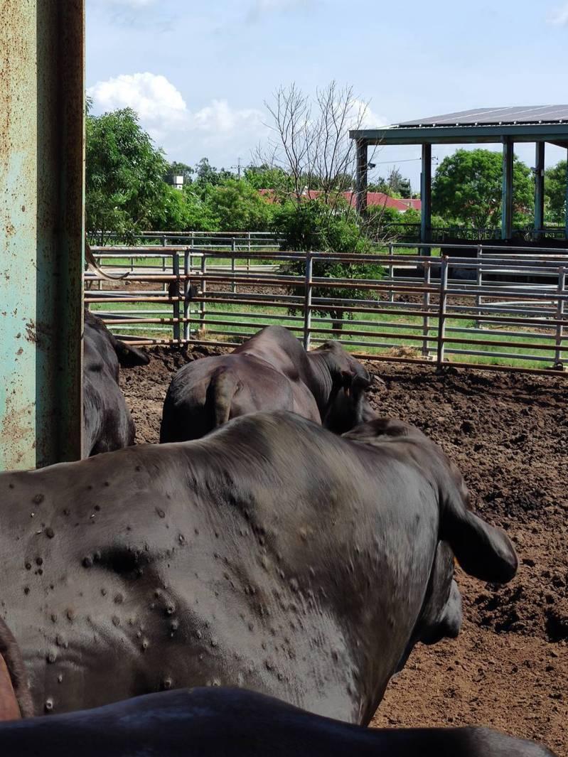牛結節疹牛隻外觀。圖/農委會提供