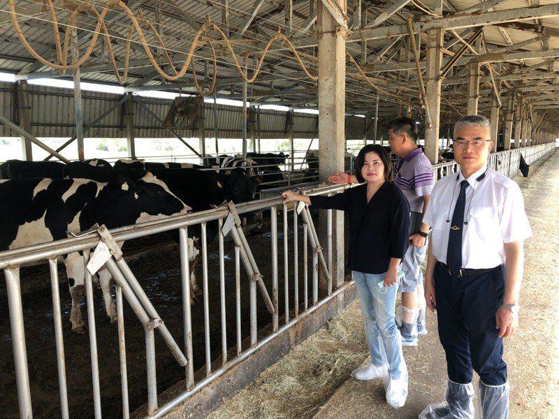 立委賴惠員(左一)、台南市政府農業局謝耀清(右一),前往柳營酪農區,了解乳牛健康情形。記者謝進盛/翻攝