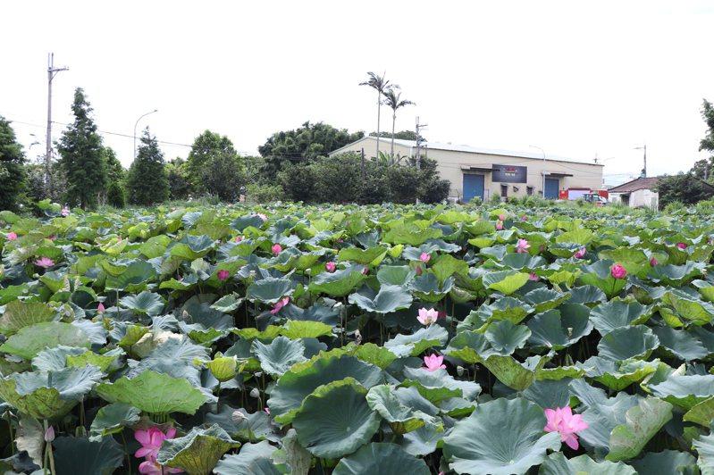 桃園市八德區白鷺里埤塘生態公園中,滿池粉紅色的蓮花正盛開,成為鄉里間的賞蓮秘境。記者陳夢茹/攝影
