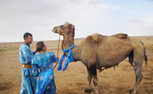 年邁駱駝被賣後獨行100公里回家,主人大受感動。圖取自梨視頻