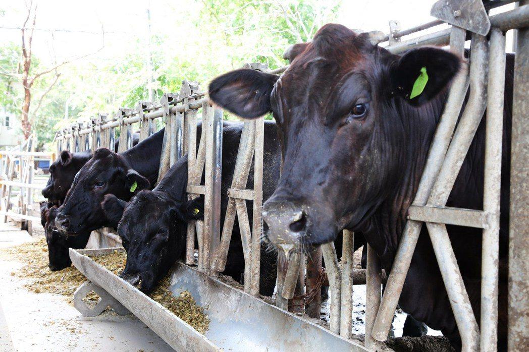 嘉大動物試場飼養的安格斯黑牛。 嘉大/提供