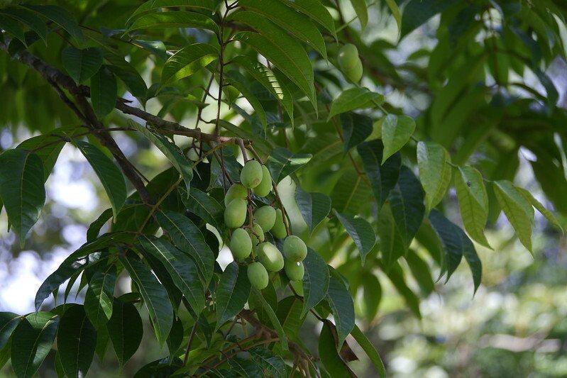 院子裡種了三棵的橄欖樹,結果實了。