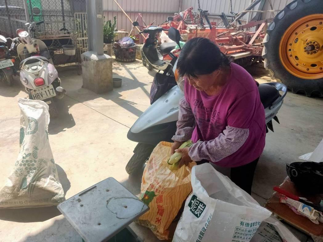 糯米玉米供過於求價格崩盤,楊姓農婦無奈開放自採促銷。圖/農民提供