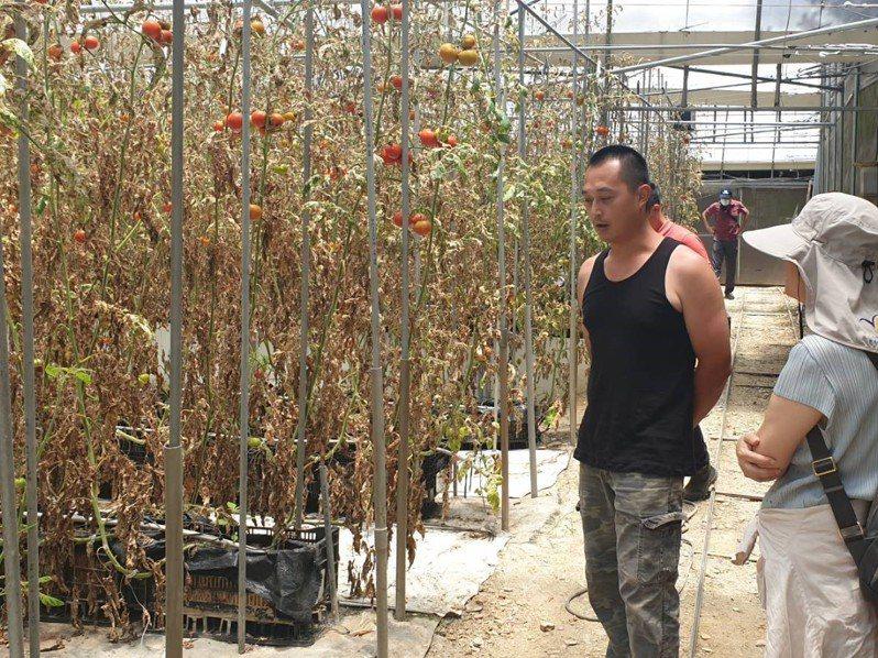 全新外來種「番茄潛旋蛾」入侵台灣,南投仁愛鄉上月傳出災情且持續擴大。圖/仁愛農會提供