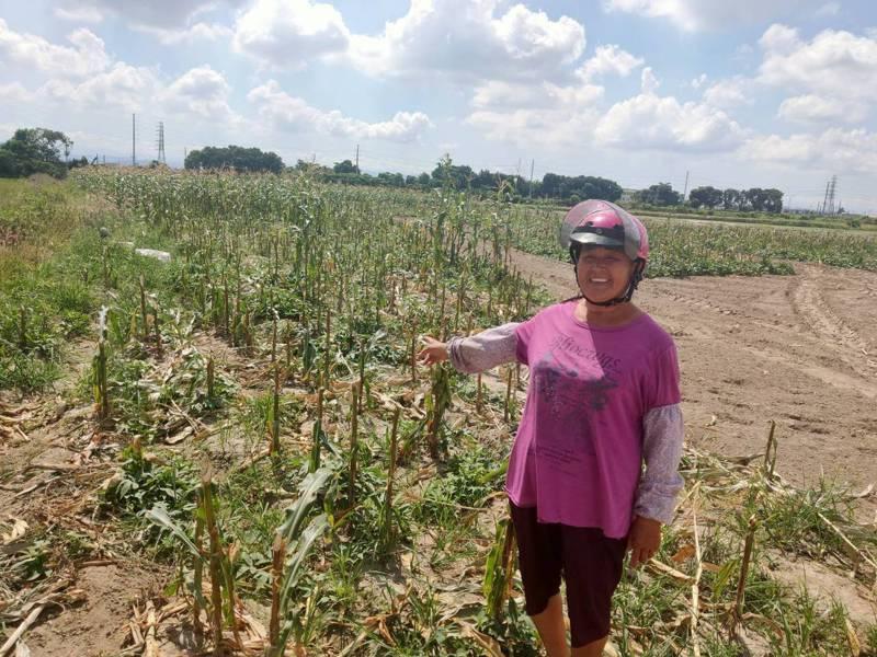 糯米玉米供過於求價格跌,台南楊姓農婦無奈開放自採,一支5元。圖/農民提供