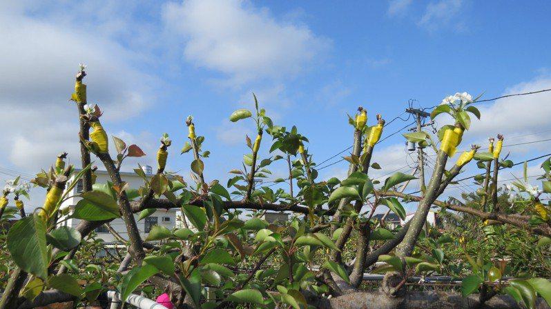 苗栗縣部分鄉鎮高接梨今年初受霜害,農友數次翻刀,以致今年3月枝頭有些梨穗已開花,部分梨穗光禿禿成對比。圖/本報資料照片