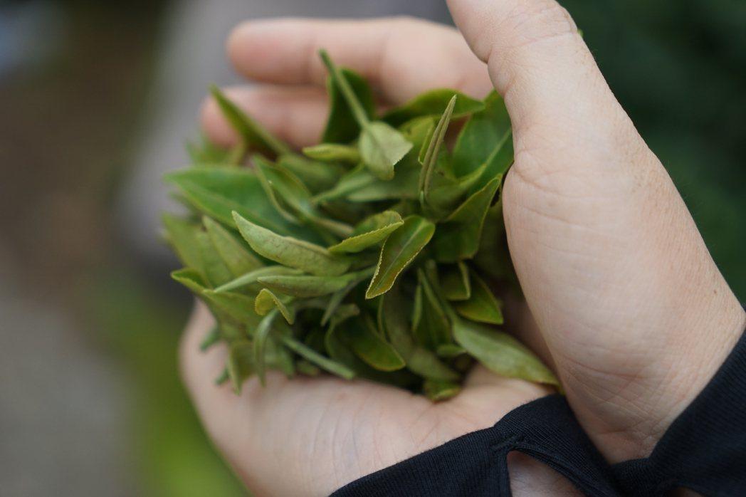 著蜒茶芽。 圖/盧怡安拍攝