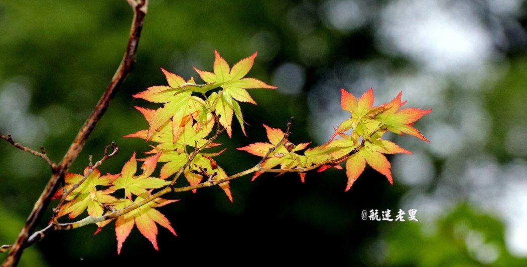 來到日光看到楓葉印象最為深刻, 高山地帶大約七月初就能看見楓紅。