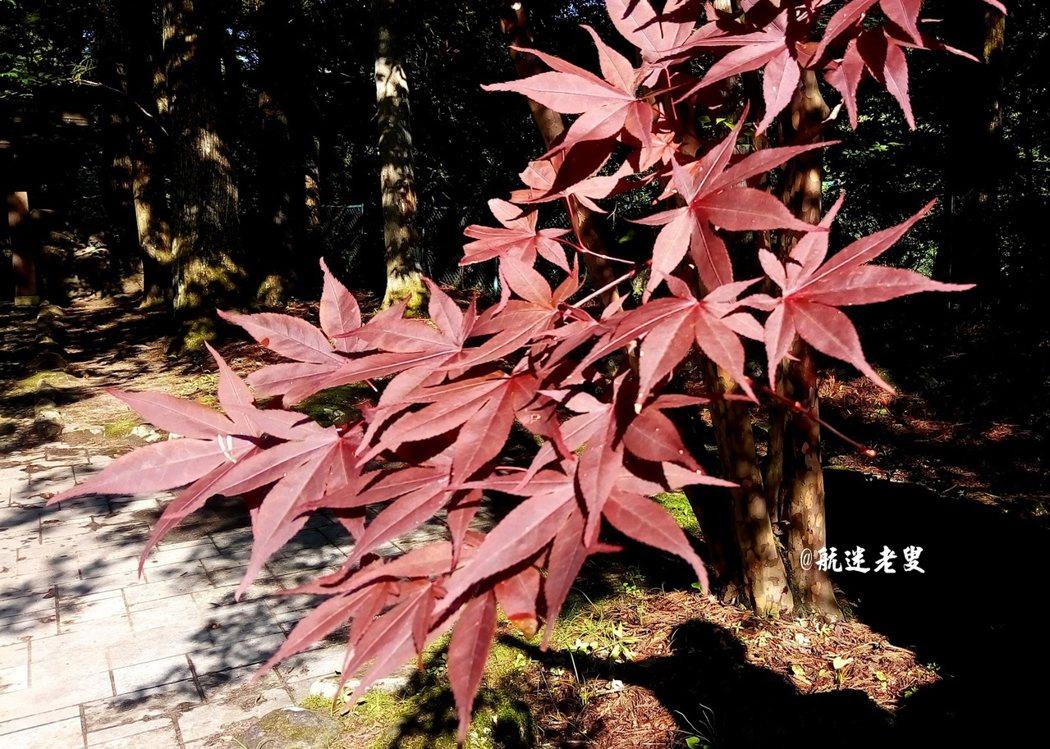 板屋楓,葉形較大,樹葉茂密,飄逸醒目。