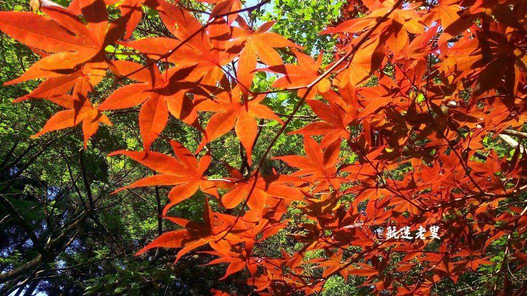 雖未到楓紅時節,陽光一照,滿樹生輝。