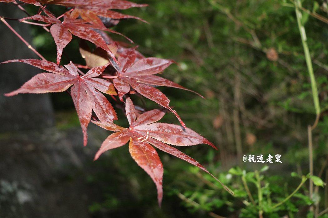 像是手掌的楓葉,還留著夜晚的露水, 色彩變化,不需任何點綴就是美。