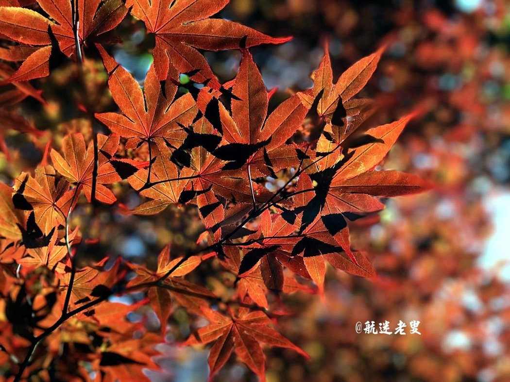 當陽光升起樹葉的顏色又不同了, 早晨陽光灑落在楓葉,讓楓葉更加的的紅。