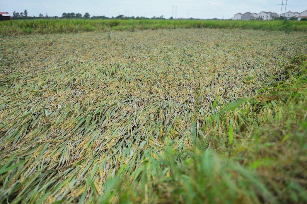 圖為湖南省岳陽縣一處農田,因受連續大風、暴雨影響,早稻大面積倒伏低。新華社