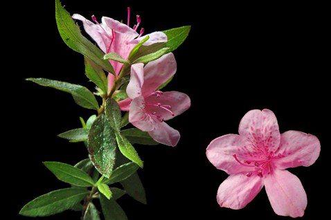 【植物園方舟計畫】烏來杜鵑:植物牽起的跨海情誼