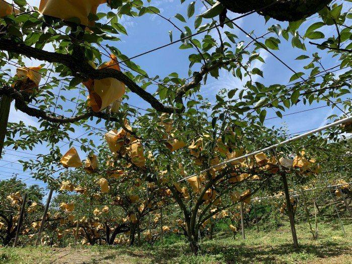 一棵棵的梨樹代表無數的辛勤付出與甜美收穫。 圖/活源行銷提供