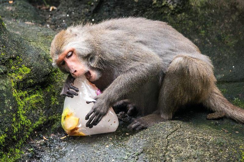 台灣獼猴吃水果冰。 圖/台北市立動物園提供