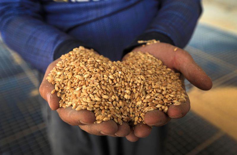 伊拉克政府會以高於市價的價格向農民購買農產品,尤其是小麥、大麥和小扁豆。法新社