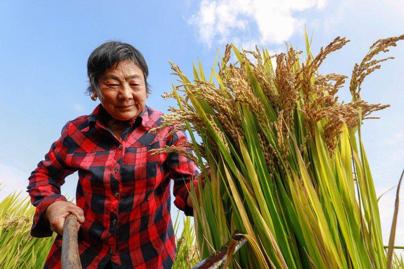 對中國大陸來說,庚子年從來是危機四伏之年,今年更是多重危機四伏,其中一個被熱議的危機,叫糧食危機。圖為江蘇省淮安市農民在收穫水稻。新華社
