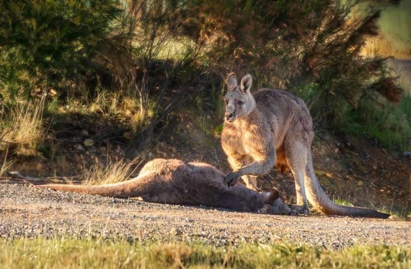 澳洲袋鼠救援協會的義工早前拍下相片,一隻雄性袋鼠目睹妻兒被車撞倒後,悲傷撫屍的畫面觸動數千網友。圖/臉書