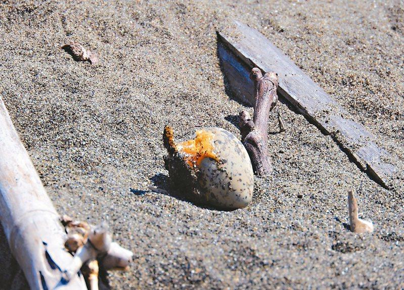 台北港北堤沙灘及挖子尾保留區,東方環頸鴴幼鳥、蛋(圖)在沙灘上有保護色,一不小心,沙灘車等車輛可能傷及牠們。 圖/取自荒野保護協會官網