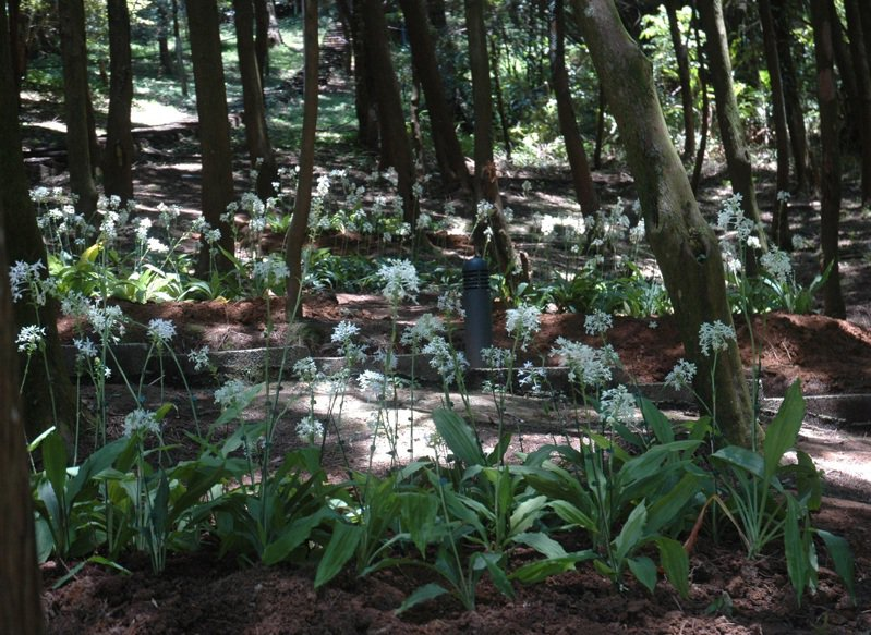 農委會桃園農改場選出白鶴蘭和長距根節蘭與其雜交後代長距白鶴蘭等3種適合平地溫網室栽培物種,復育推廣為生態景觀花卉外,同時也開發為新興的切花。圖/桃園場提供