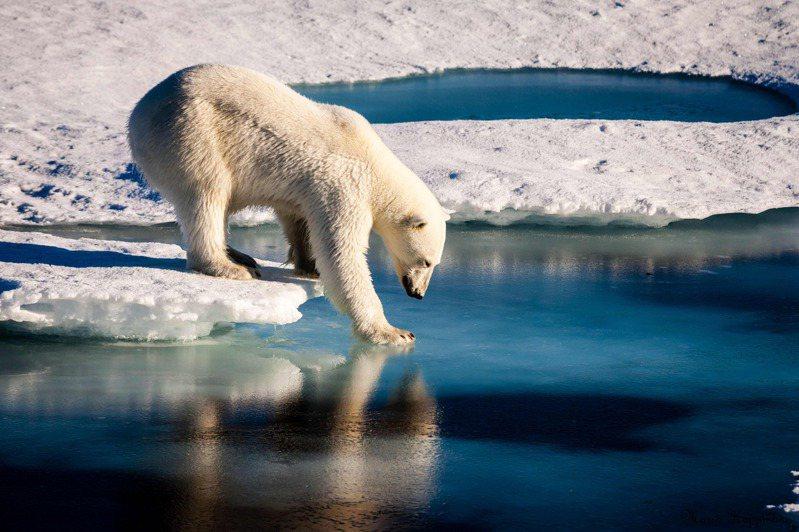 全球暖化恐使北極熊在2100年滅絕。法新社