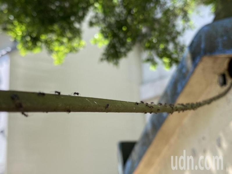 疣胸琉璃蟻喜好居住於隱蔽性高的環境,圖中的疣胸琉璃蟻順著電線行走,十分嚇人。 記者劉明岩/攝影