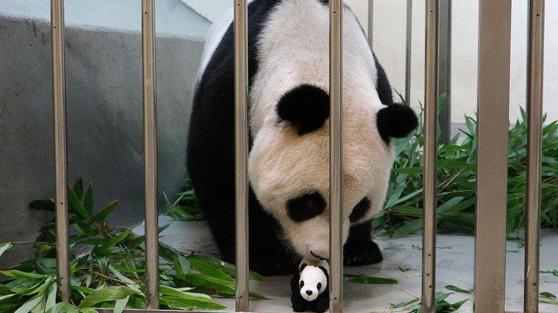這段母女分離期,園方準備「仿仔」,讓「圓圓」適應帶寶寶。圖/台北市立動物園提供