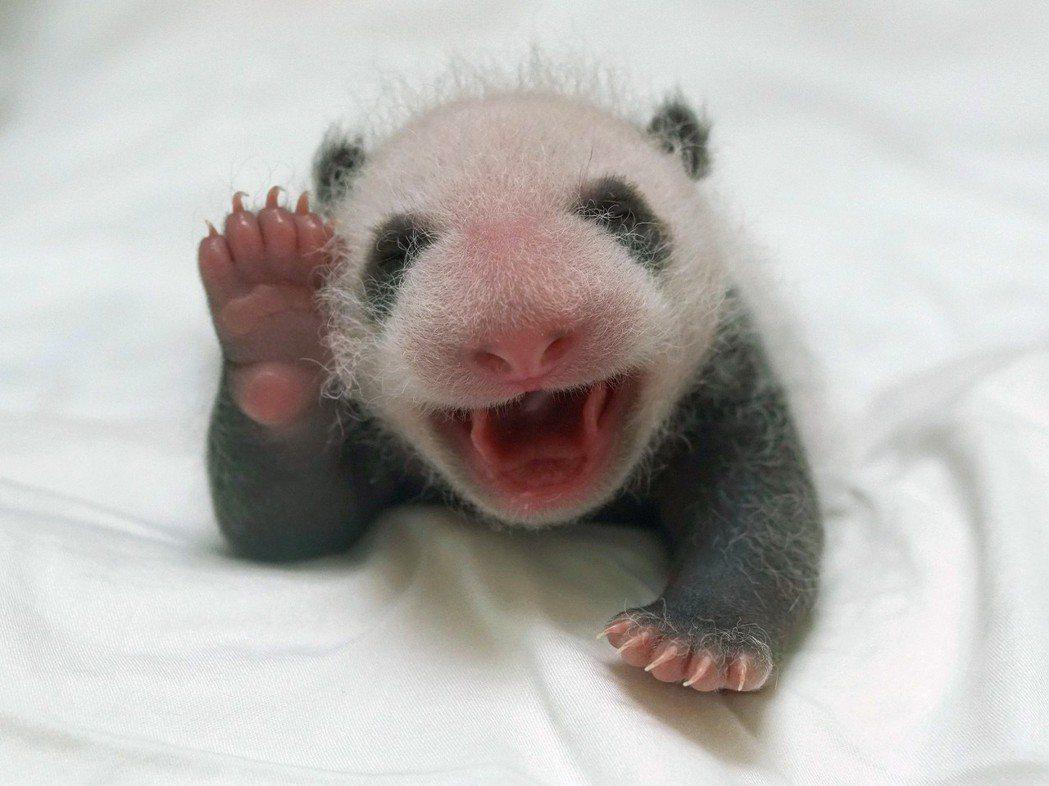 大貓熊寶寶「圓仔妹」出生第25天,即將回歸媽媽「圓圓」懷抱。圖/台北市立動物園提...